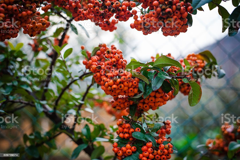 Sorbe Pyracantha Buisson ardent fruits orange avec feuilles vertes - Photo