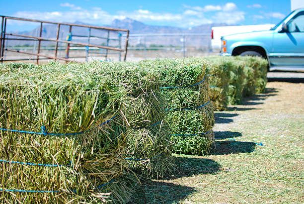 Rows of alfalfa hay in front of old truck stock photo