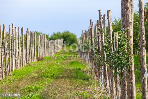 505840263istockphoto Rows of apple trees for picking 1179691824