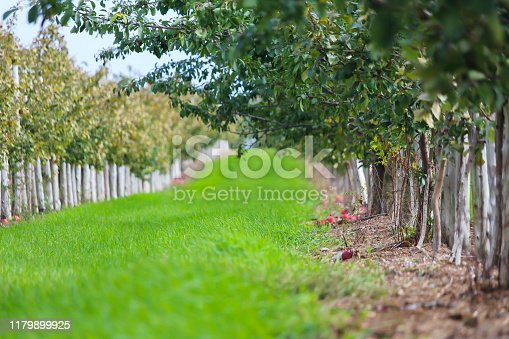 505840263istockphoto Rows of apple trees for picking 1179899925