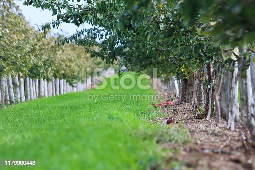 505840263istockphoto Rows of apple trees for picking 1179900448