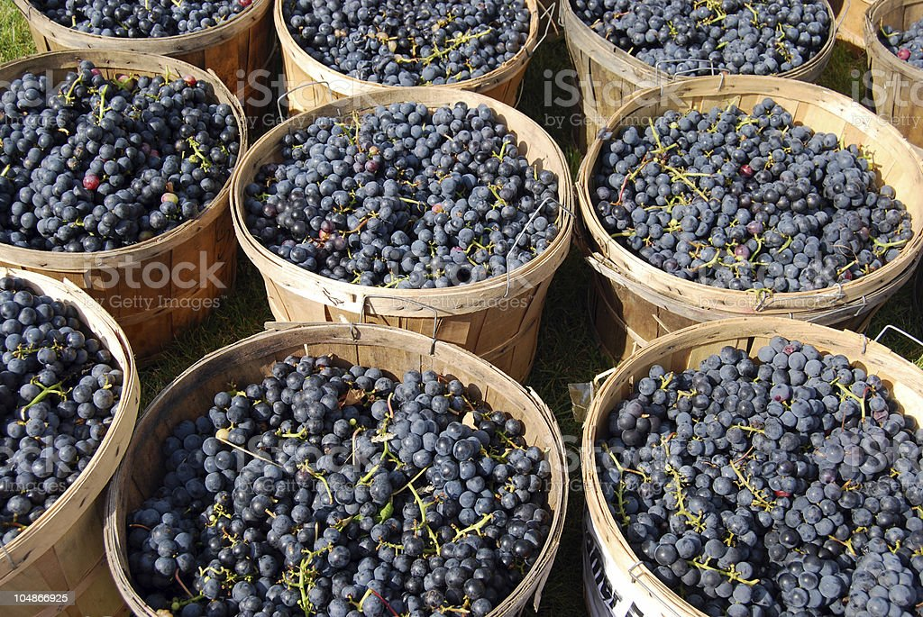 Rows of baskets full of blueberries at harvest time royalty-free stock photo
