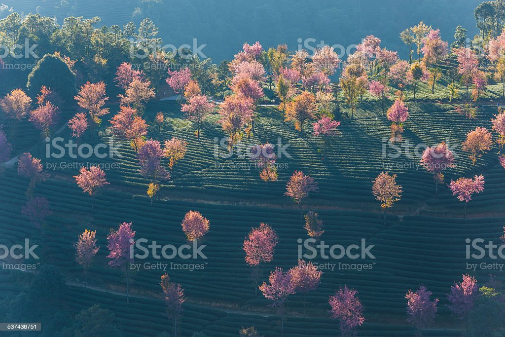 Rows of beautifully blossoming cherry trees on a green lawn stock photo