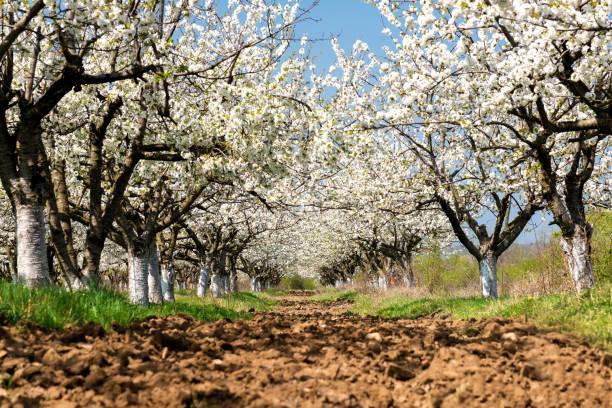 Reihen von schön blüht in weißen Kirschbäume auf einem grünen Rasen im Frühjahr – Foto
