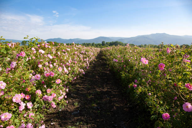 Rows of Bloomed Roses in an Agricultural Field stock photo