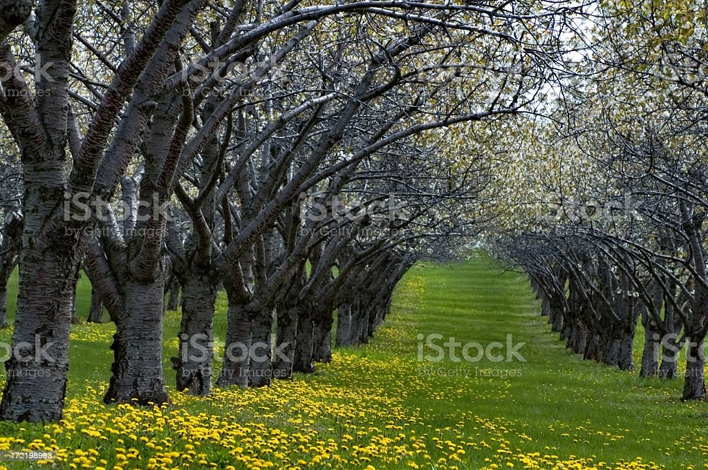 Rows of Blooming Cherry Trees and Dandelion stock photo
