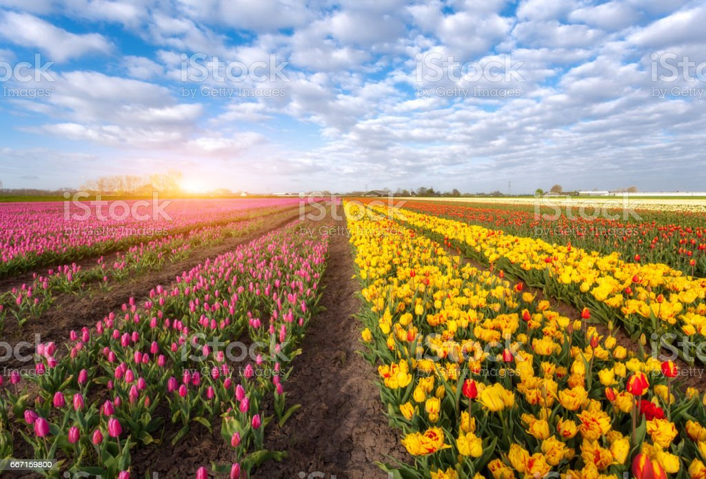 Rows of blooming red and yellow tulips​​​ foto