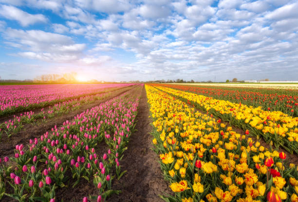 Rows of blooming red and yellow tulips Tulips. Blossom flowers. Rows of blooming red and yellow tulips in an agricultural dutch rural landscape. Spring scene on the tulip farm. Colorful sunset in Netherlands, Europe. Rustic view. Nature plant bulb stock pictures, royalty-free photos & images