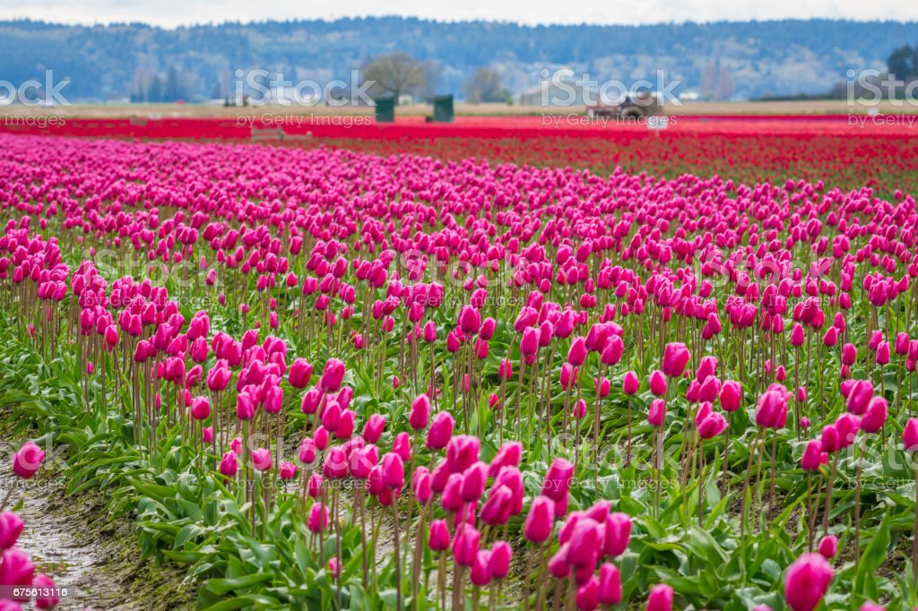 Rows of bright tulips in a field. Beautiful tulips in the spring. Variety of spring flowers blooming on fields. stock photo