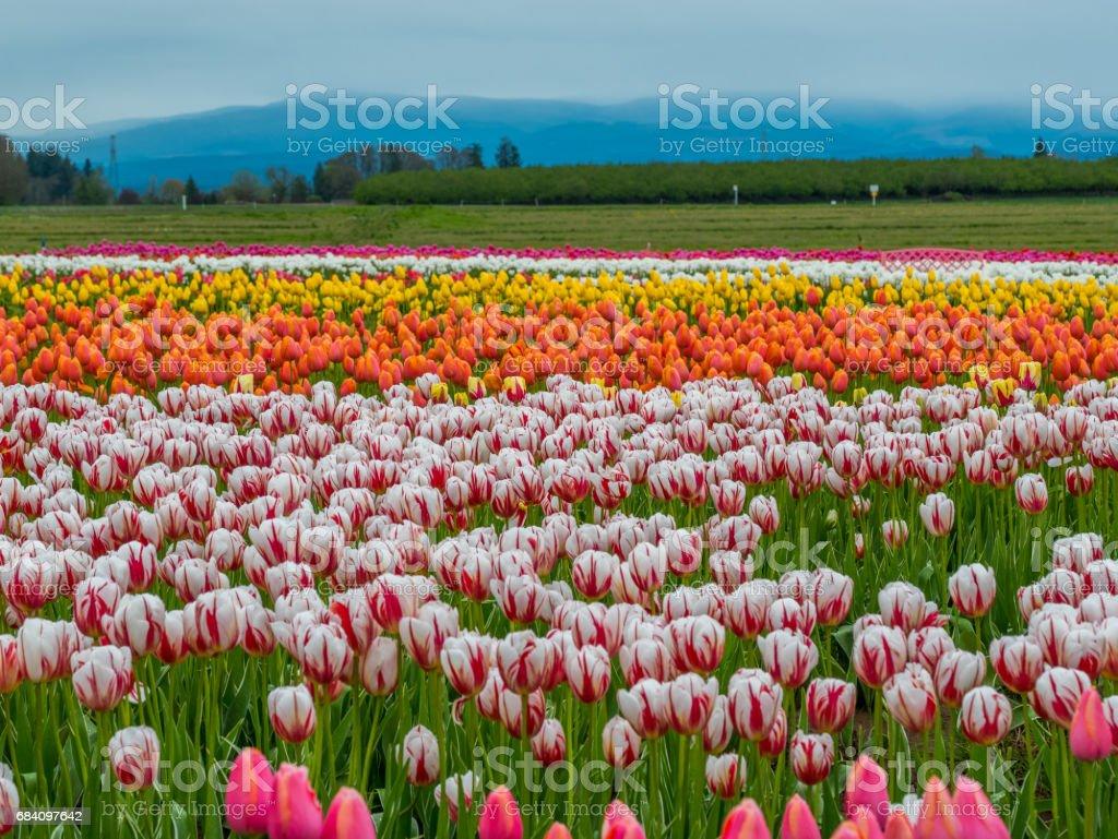 Photo Libre De Droit De Rangées De Tulipes Lumineuses Dans Un Champ