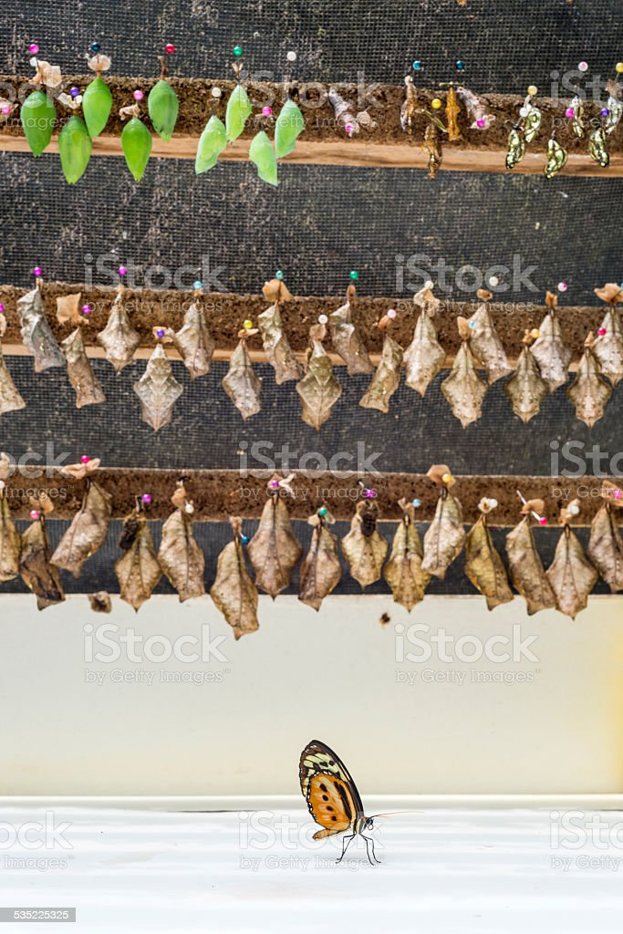 Rows of butterfly cocoons and newly hatched butterfly. stock photo