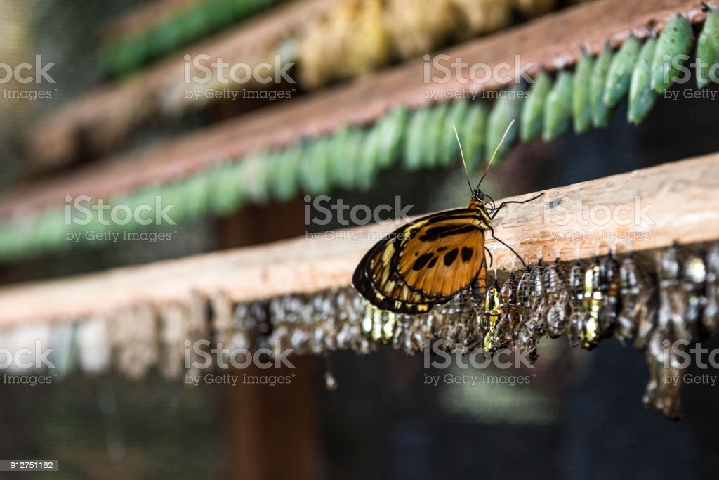 Rows of butterfly cocoons and newly hatched butterfly stock photo