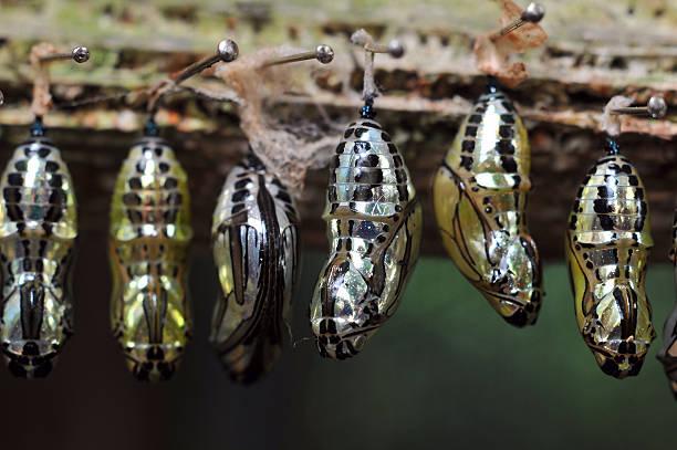 Rows of butterfly cocoons picture id453213937?b=1&k=6&m=453213937&s=612x612&w=0&h=2aa5mvjnea6yv4vsn hjtfjaqjwmxbcfqfa4mwzeenu=