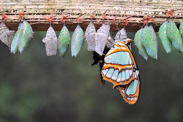 열 나비 cocoons - 누에고치 뉴스 사진 이미지
