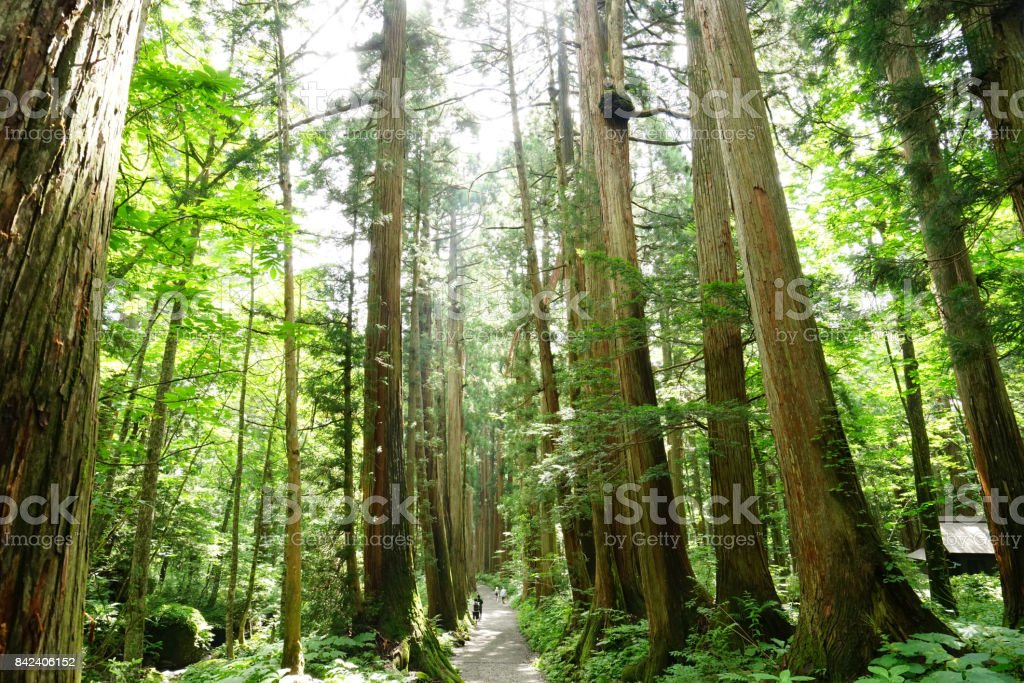 Rows of Cedar Trees In Togakushi, Japan stock photo