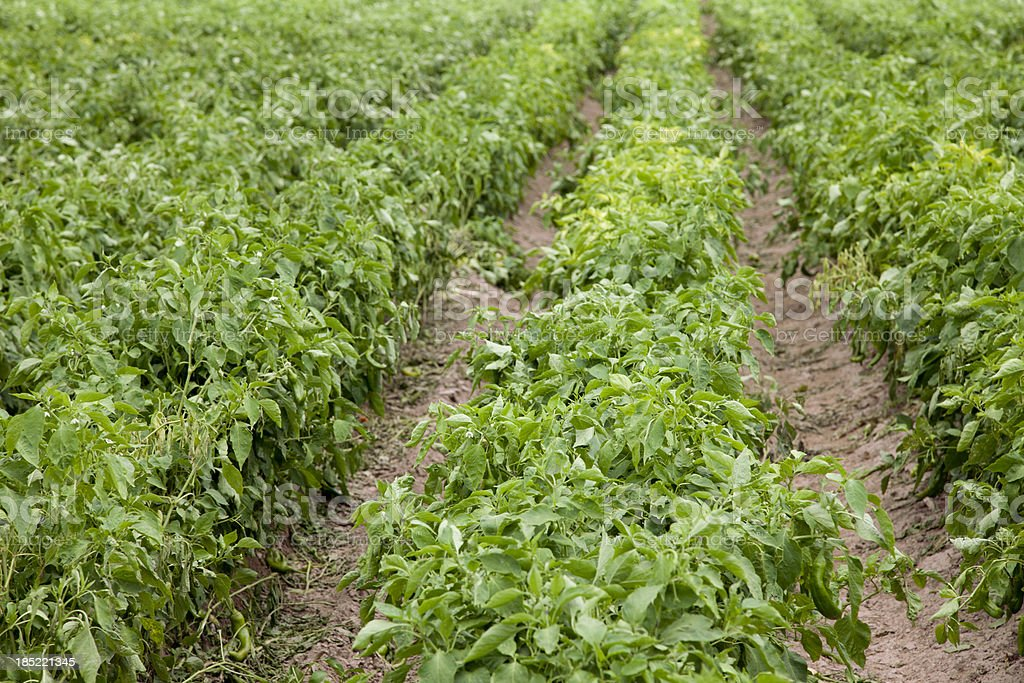 Rows of Chile in Field near Hatch, New Mexico, USA stock photo