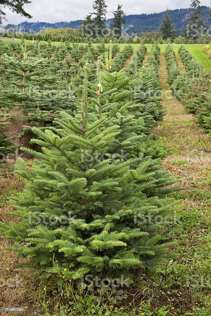 Rows of Christmas Trees royalty-free stock photo
