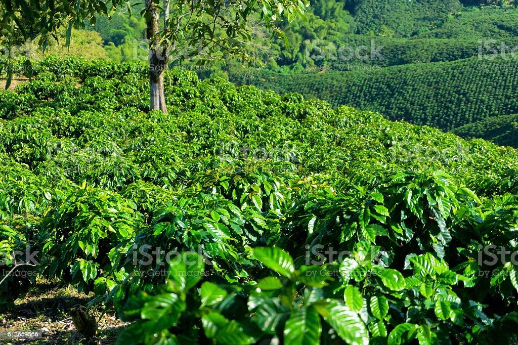 Rows of Coffee Plants stock photo