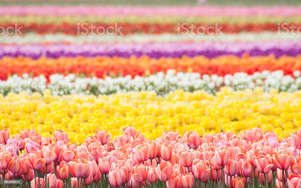 rows of colorful flowers stock photo