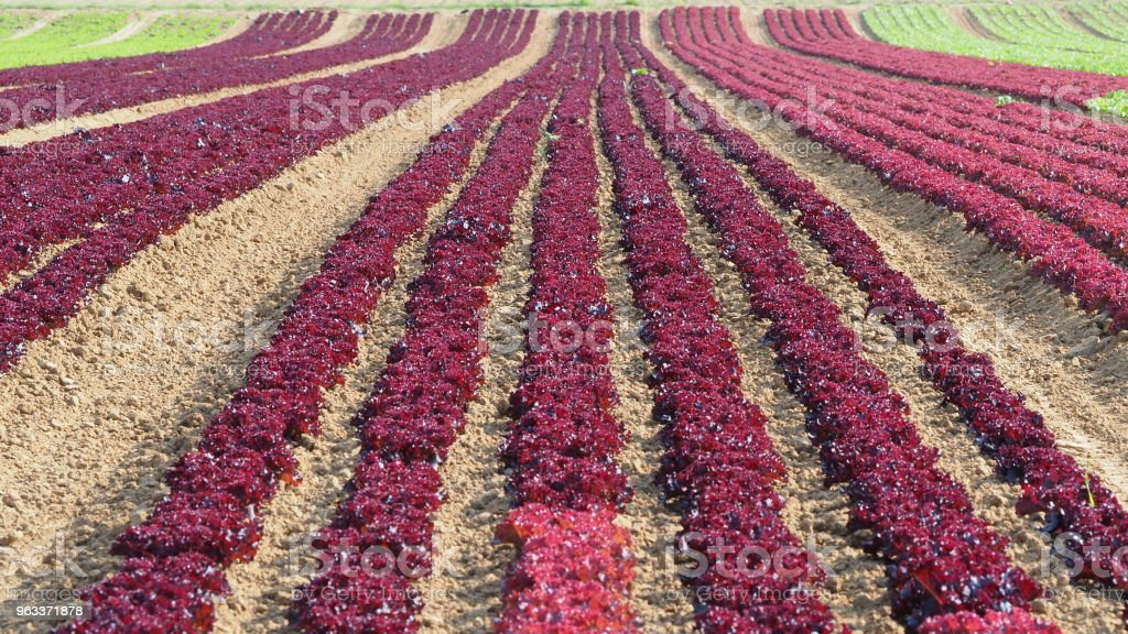 Rows of colorful rainbow of agricultural fields of crops (lettuce plants), including green, red, purple varieties - Zbiór zdjęć royalty-free (Czerwony)