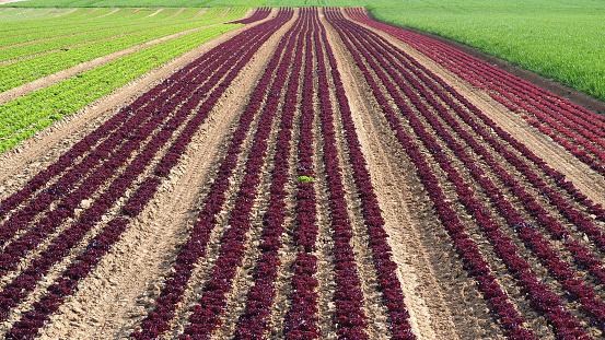Rows Of Colorful Rainbow Of Agricultural Fields Of Crops Including Green Red Purple Varieties - zdjęcia stockowe i więcej obrazów Czerwony