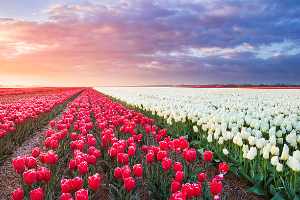 Rows of colourful tulips at sunrise in The Netherlands​​​ foto