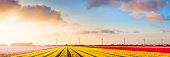 Colourful tulips in the Netherlands, photographed at sunrise. A seamlessly stitched panoramic image.