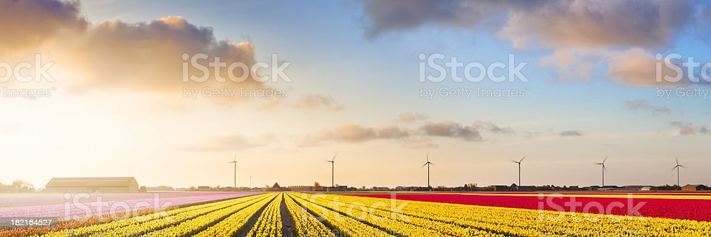 Rows of colourful tulips at sunrise in The Netherlands stock photo
