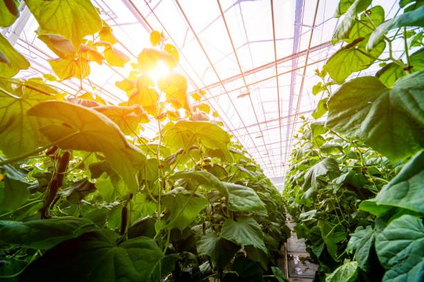 rows of cucumbers grown in a greenhouse. - теплица стоковые фото и изображения