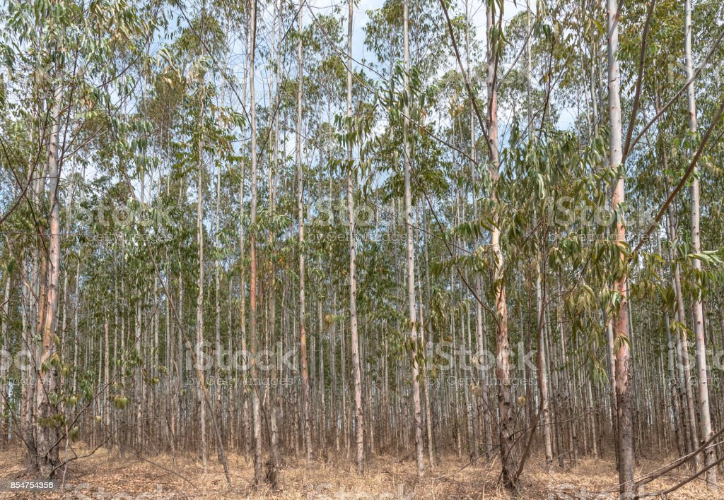 Rows of eucalyptus trees in plantations ready for harvest. stock photo