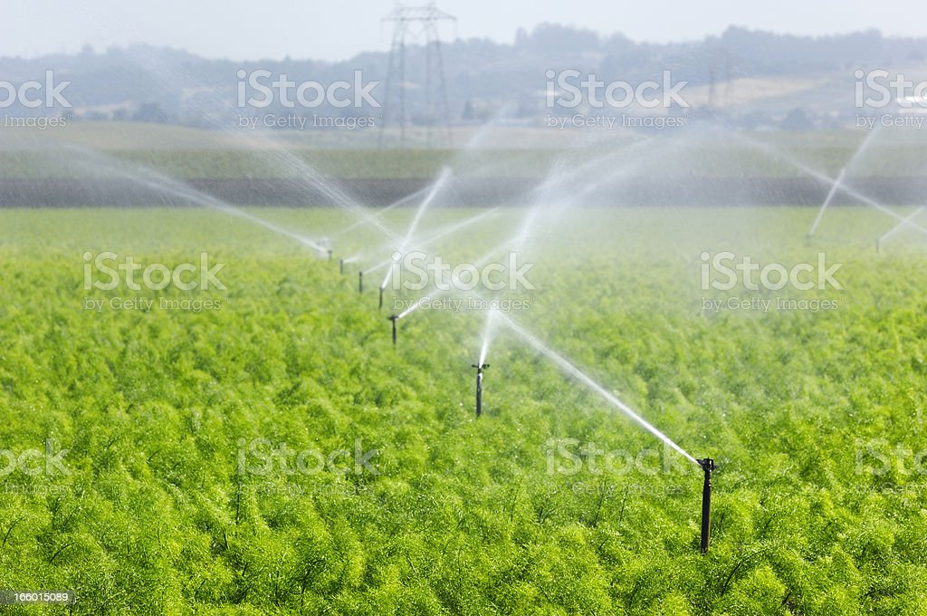 Rows of Fennel Being Watered on Coastal Farm stock photo