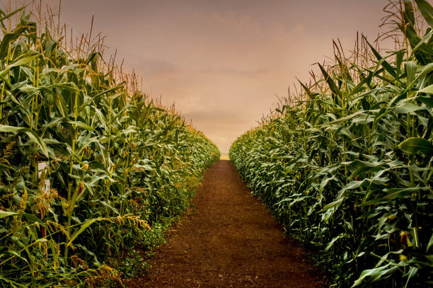 rows of fresh corn plants on a field with beautiful warm sunset light and vibrant colors - pannocchia foto e immagini stock