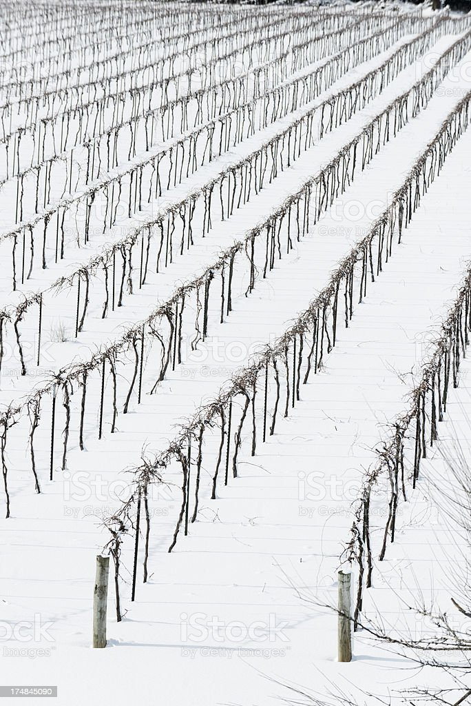 Rows of grape vines covered in snow. royalty-free stock photo