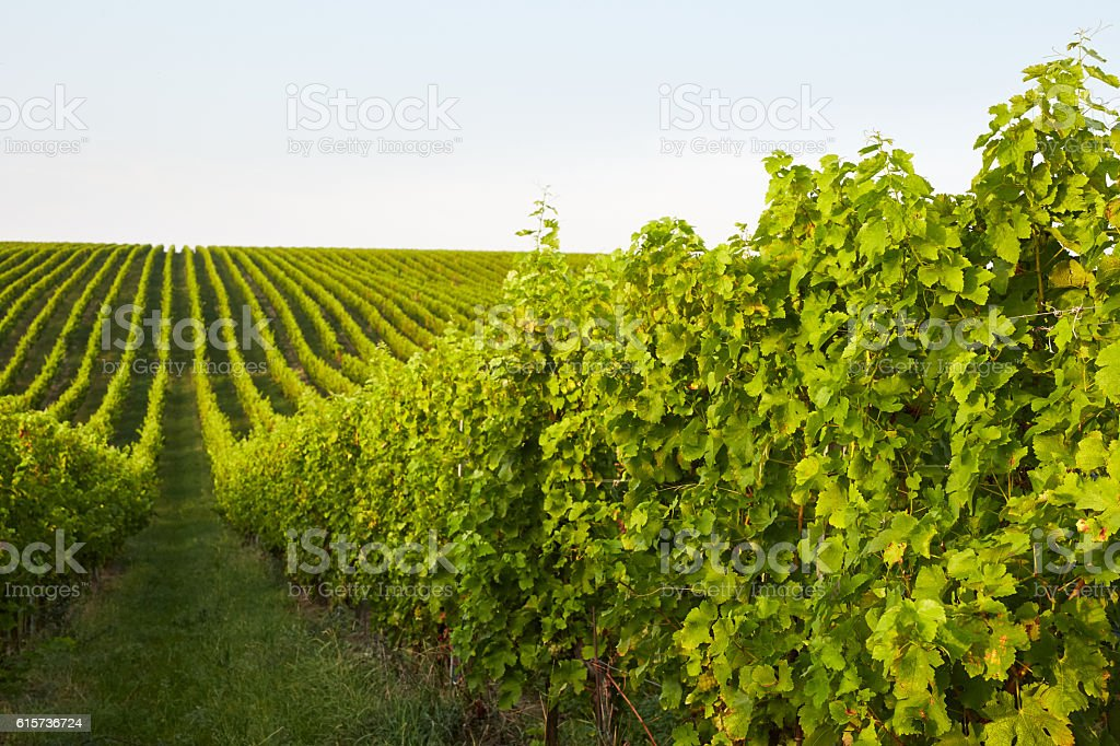 Rows of grape vines stock photo