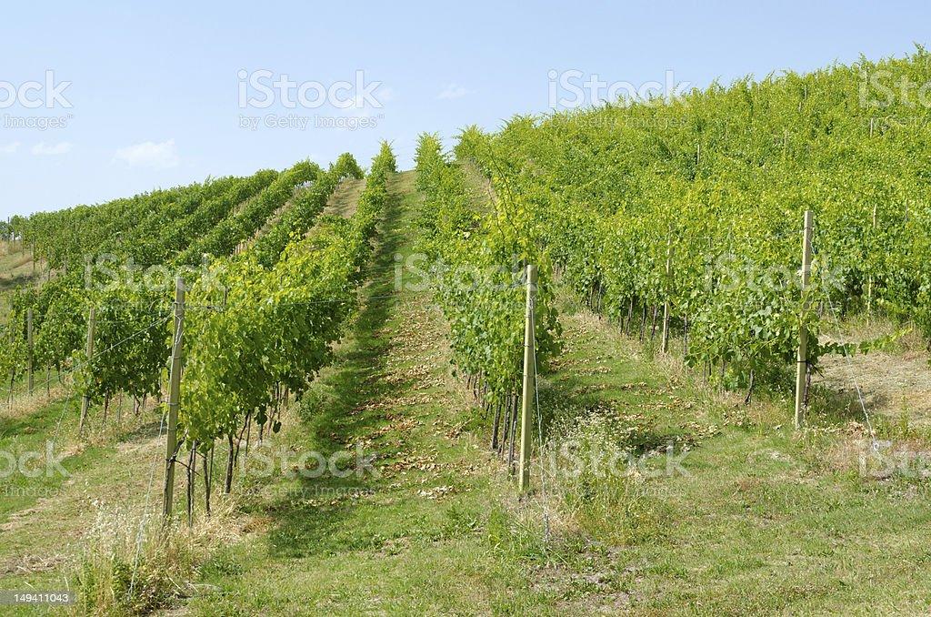 Rows of grape wines stock photo