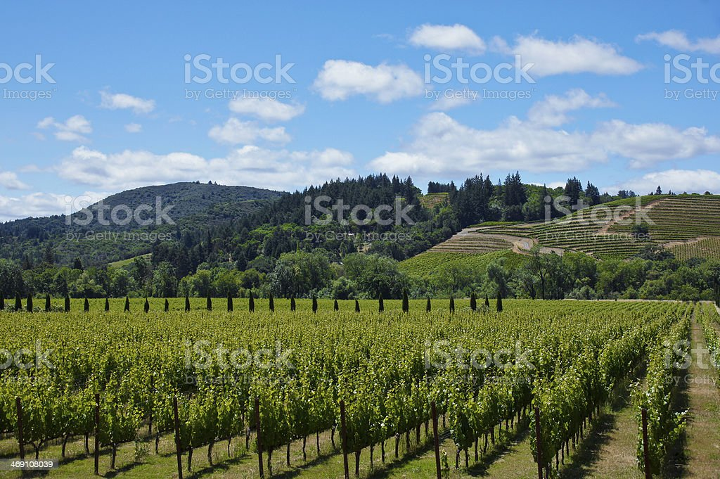 Rows of grapes at a vineyard in Sonoma Wine Country stock photo