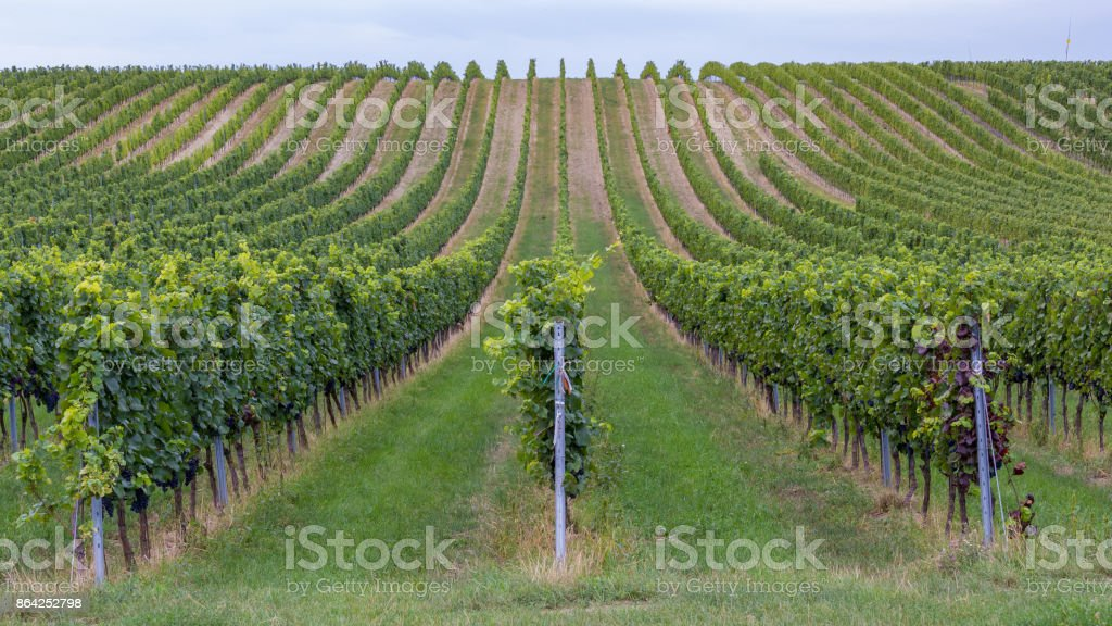 Rows of grapes before harvesting, Austria, Burgenland royalty-free stock photo