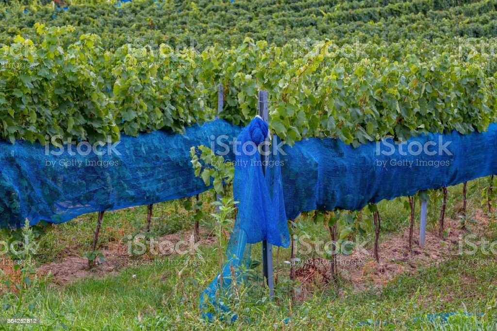 Rows of grapes before harvesting with defense from the starling birds, Austria, Burgenland royalty-free stock photo