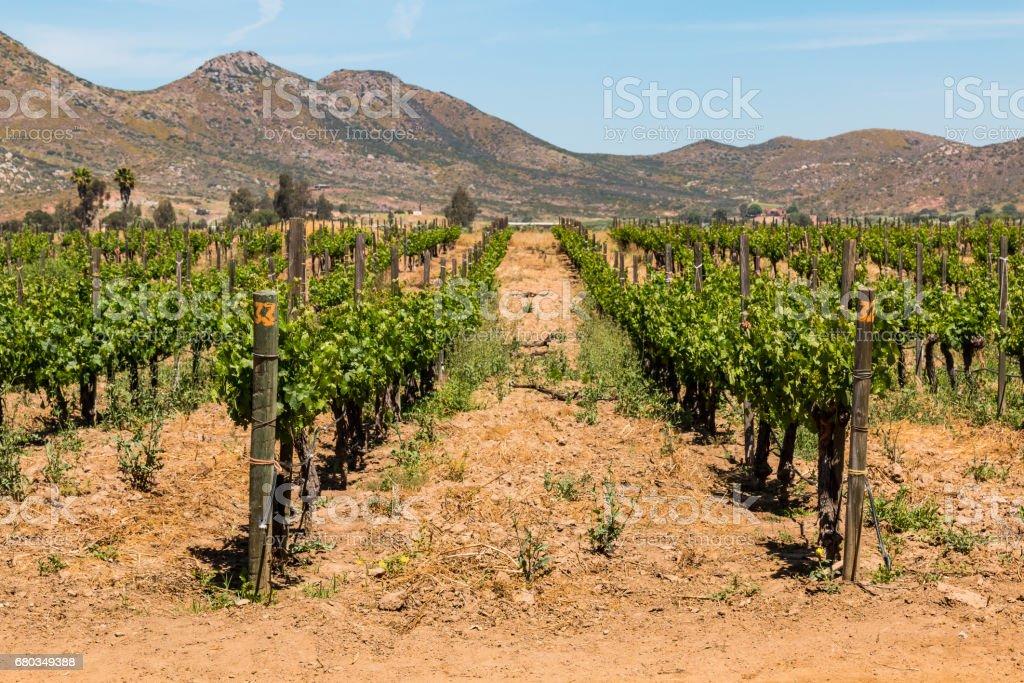 Rows of Grapes Growing in Ensenada, Mexico - foto de stock