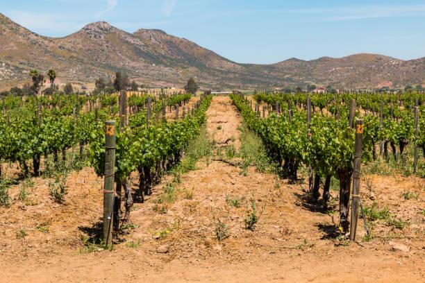 Rows of Grapes Growing in Ensenada, Mexico stock photo