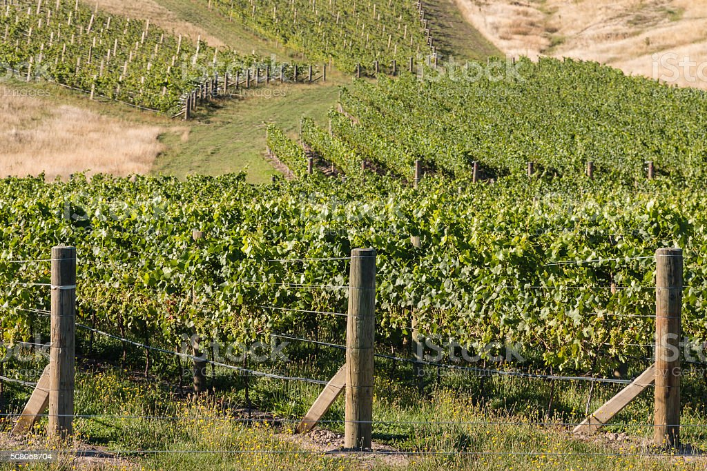 rows of grapes in vineyard stock photo