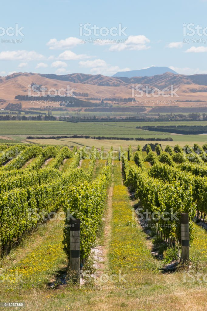 rows of grapevine growing on sunny hill stock photo