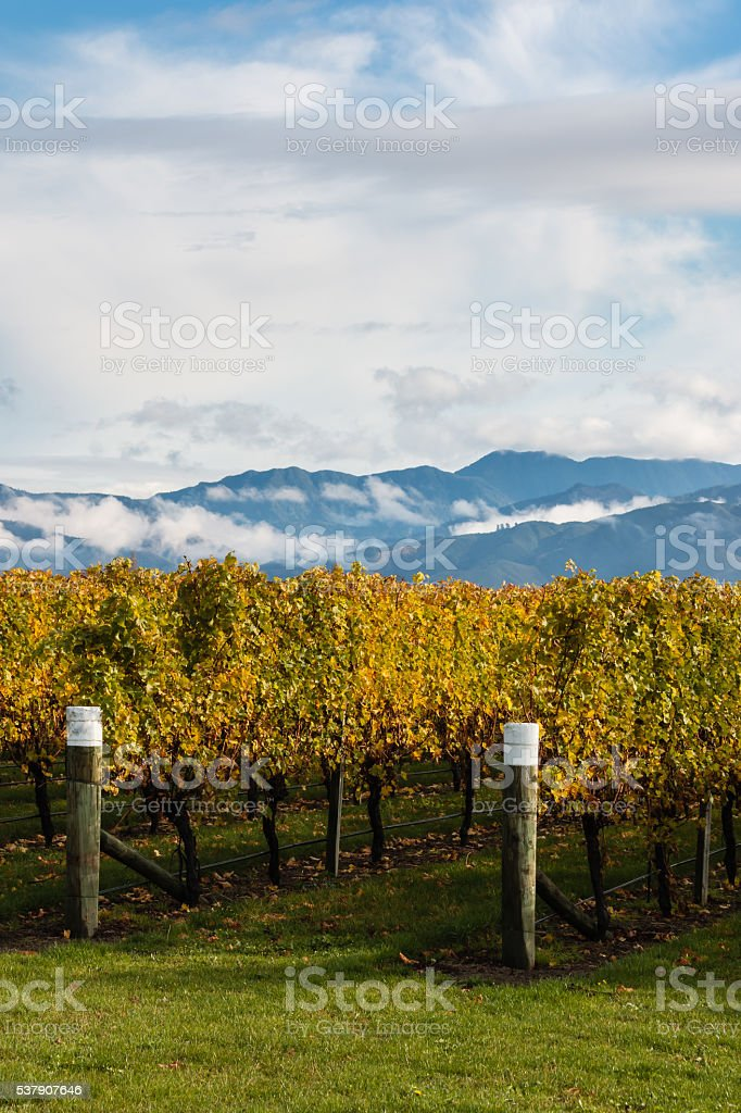 rows of grapevine in autumn stock photo
