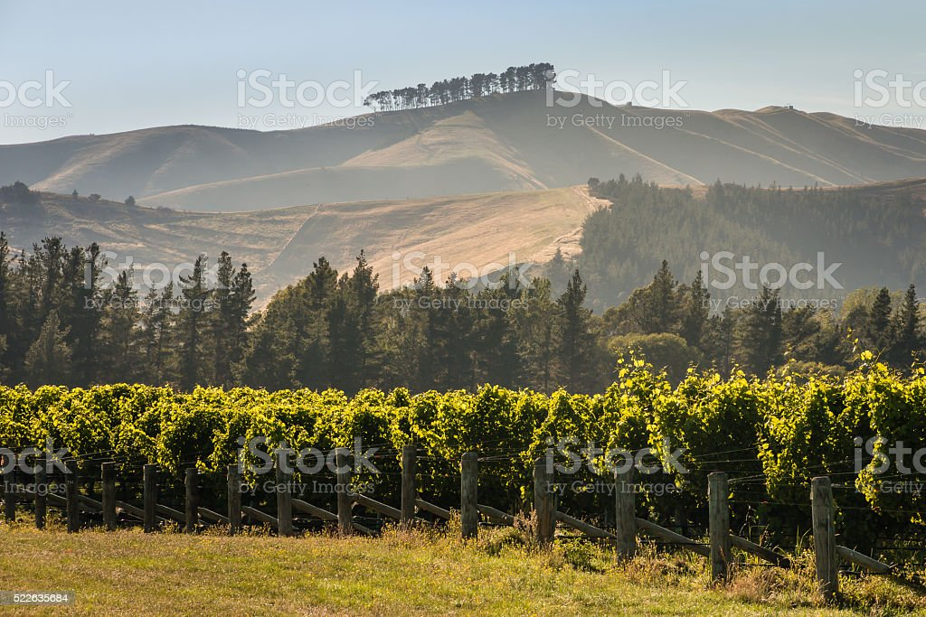 rows of grapevine in vineyard stock photo