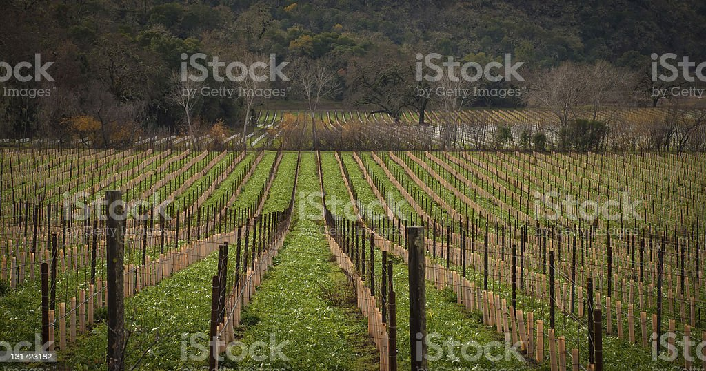 Rows of Grapevine stock photo