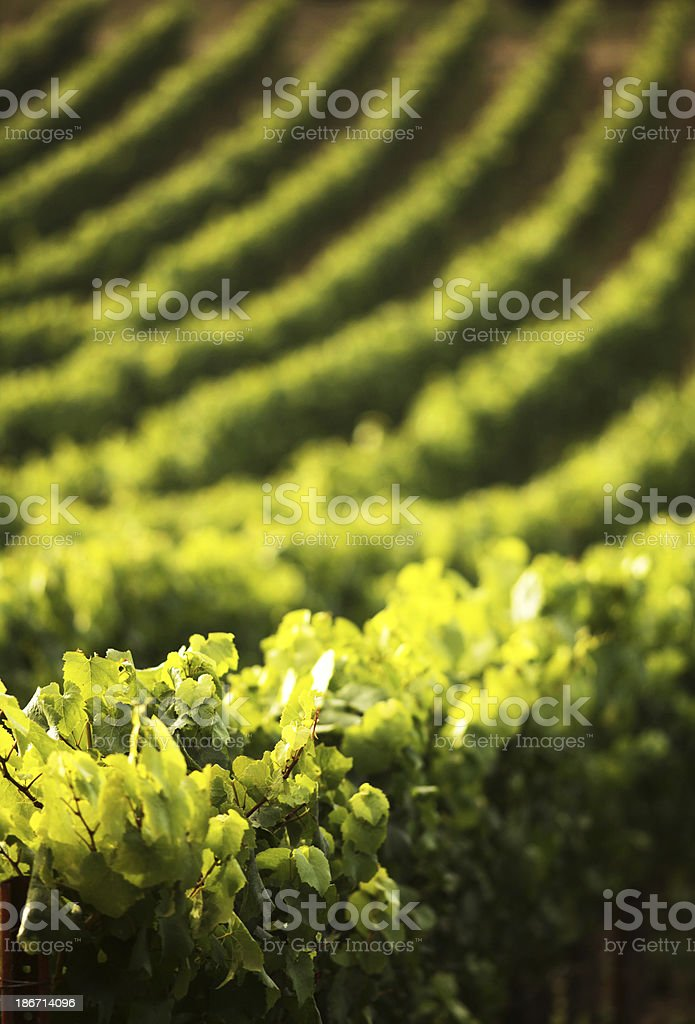 Rows of Grapevines Curving up a Hillside Vineyard stock photo
