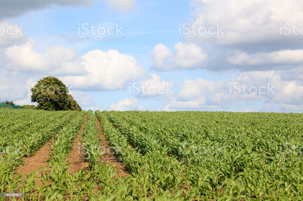 rows of green growing corn maize in summer brittany france stock photo