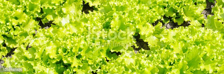 685555238 istock photo rows of green leaf lettuce growing in the garden. banner 1255192924