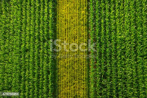 istock Rows of green maize corn crop agricultural background aerial view 479256954