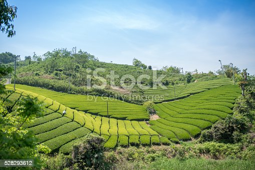 istock Rows of green tea leaves 528293612